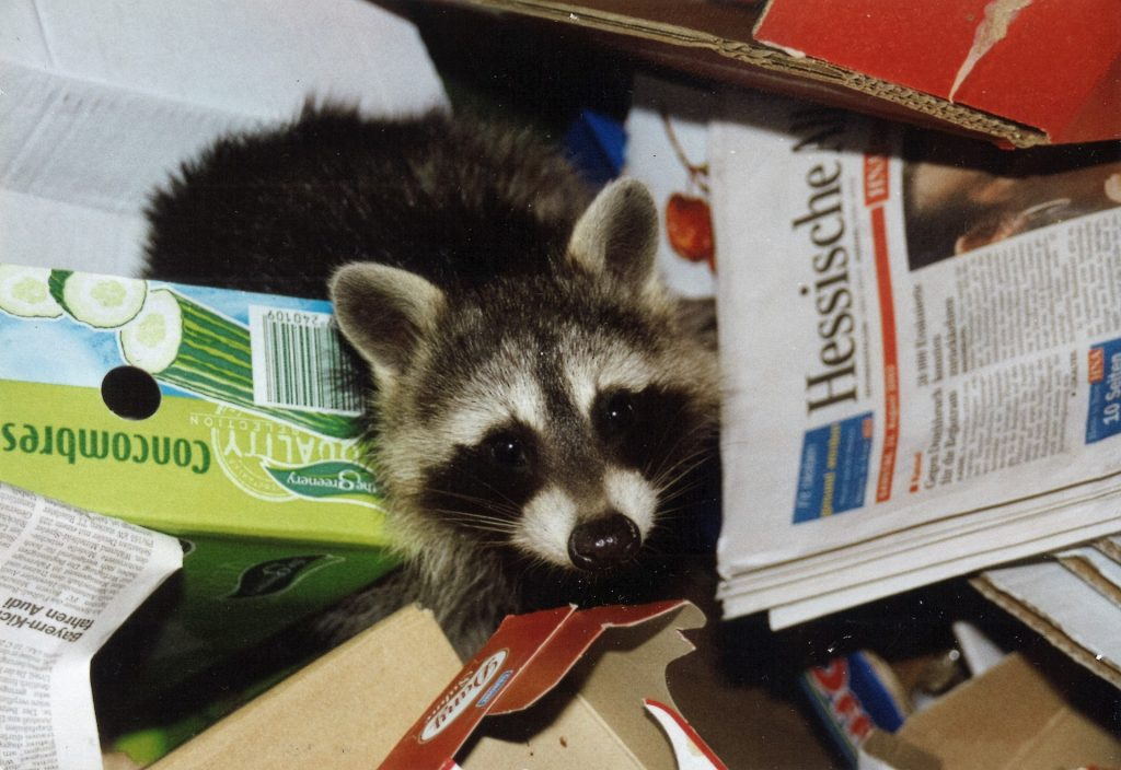 raccoon, raccoon in rubbish, dumpster drive, raccoon in dumpster, dumpster rental Charlotte NC